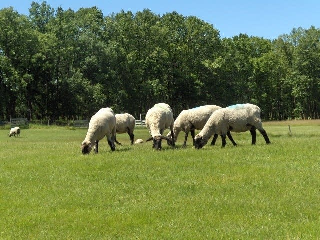 Sheep at Balhepburn Golf Course