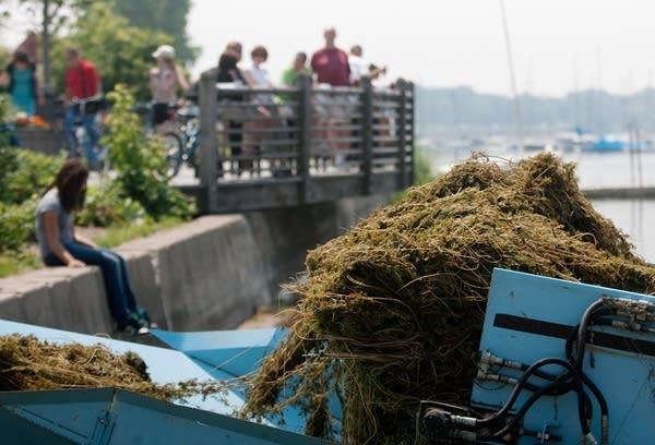 Harvesting milfoil from Lake Calhoun