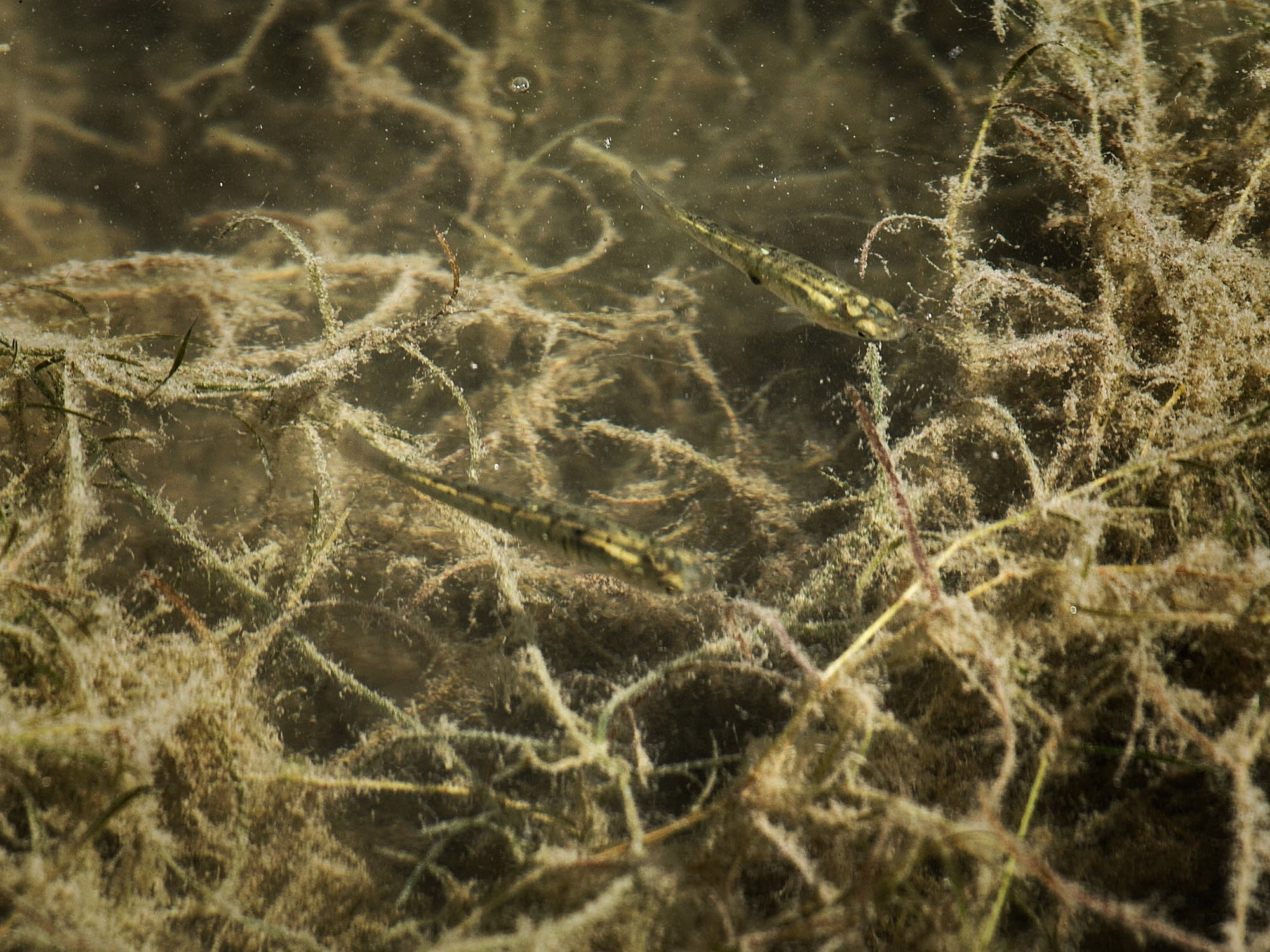 Starry stonewort can alter fish spawn.