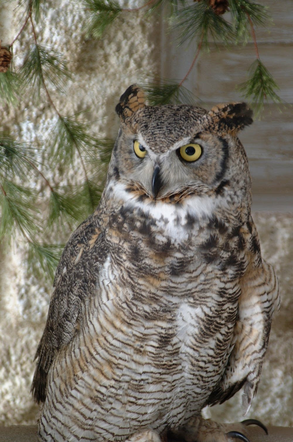 Alice the Great Horned Owl