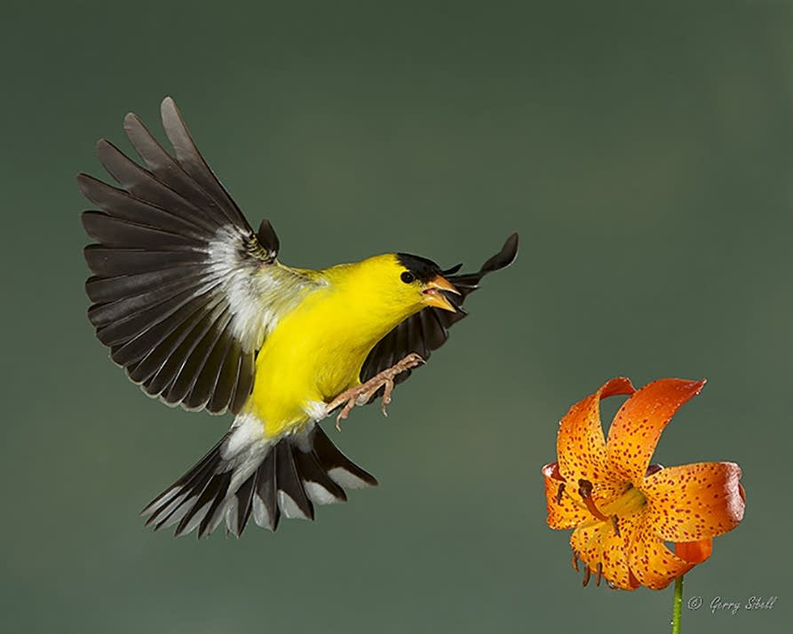 Goldfinch landing on a lily.