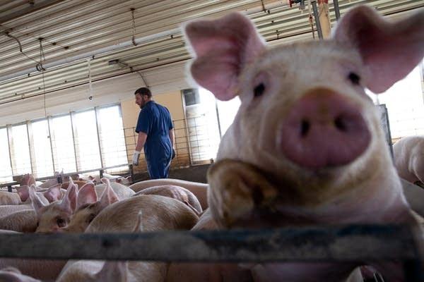 A man walks behind a close up pig.