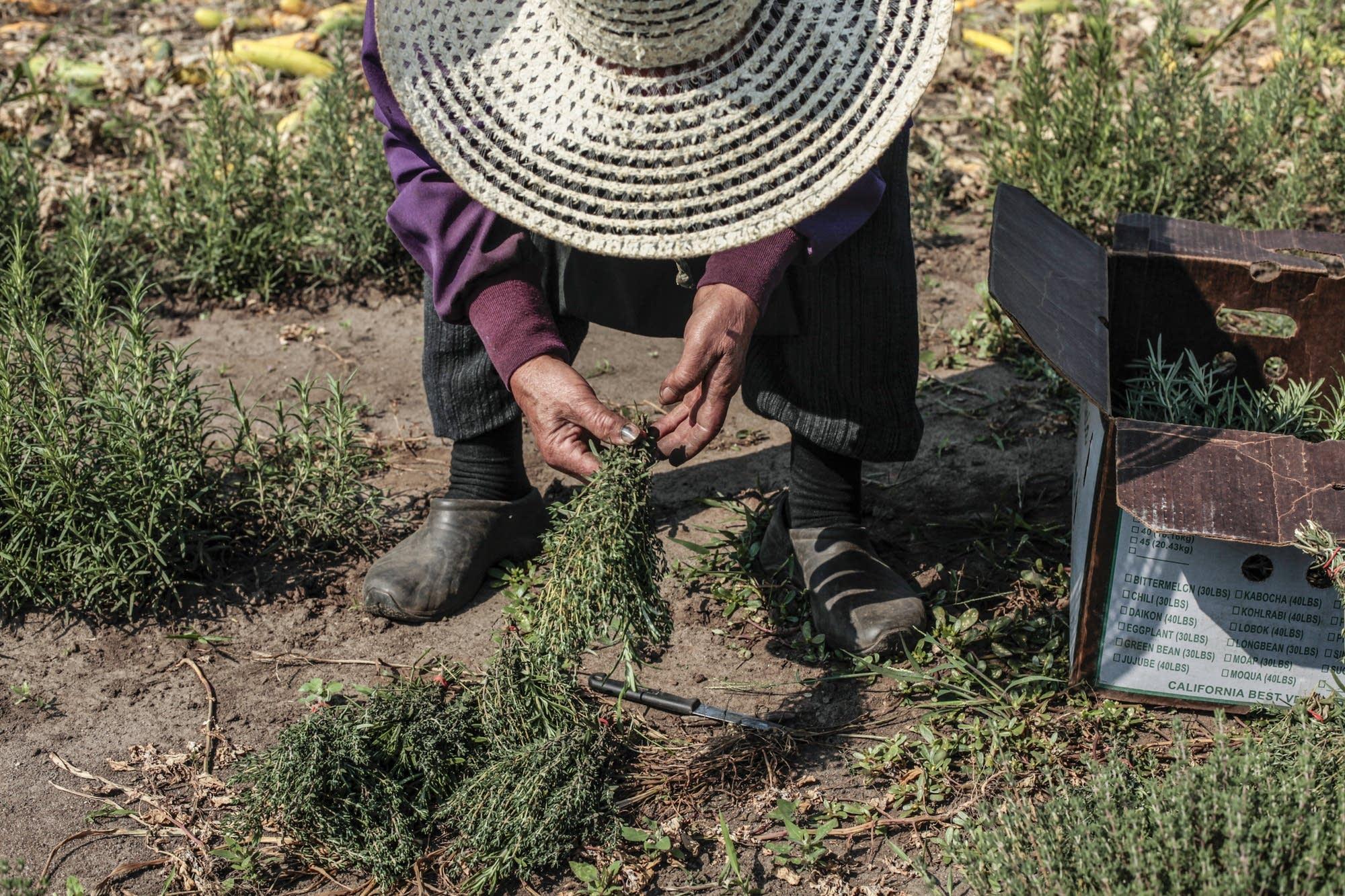 Mao Moua picks rosemary from Hafa Farms.