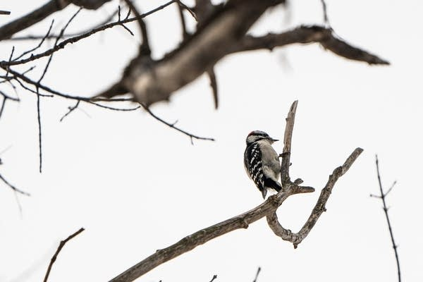 A woodpeckers sits on a branch.