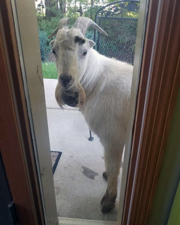 A goat has been on the loose for about a week in Inver Grove Heights.