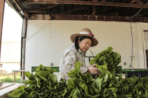 Judy Yang picks up freshly picked lettuce to wash and put into CSA box.