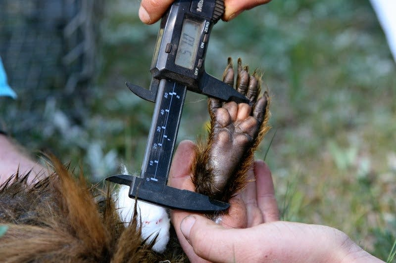 Dana Williams measures the clawed paw of a yellow-bellied marmot.