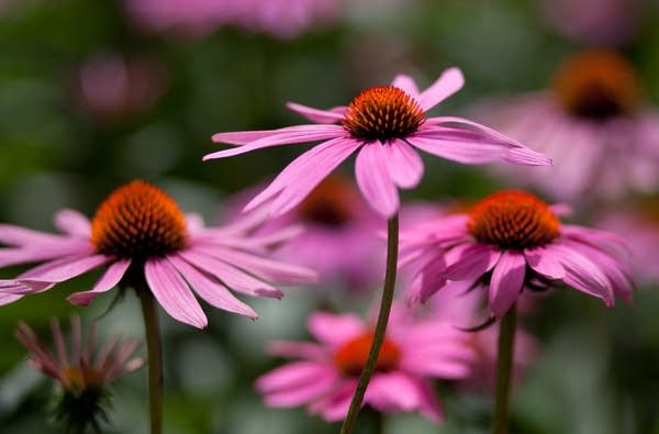 Coneflower; Native plant enthusiast Susan Damon recommends growing purple coneflower to attract insects and birds to the garden.