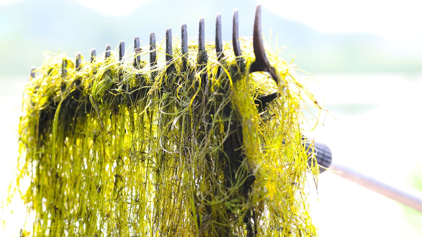 Mats of starry stonewort have infested Lake Koronis.