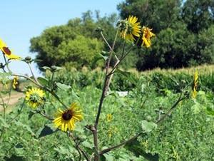 A Wildflower plot near Brookings, South Dakota