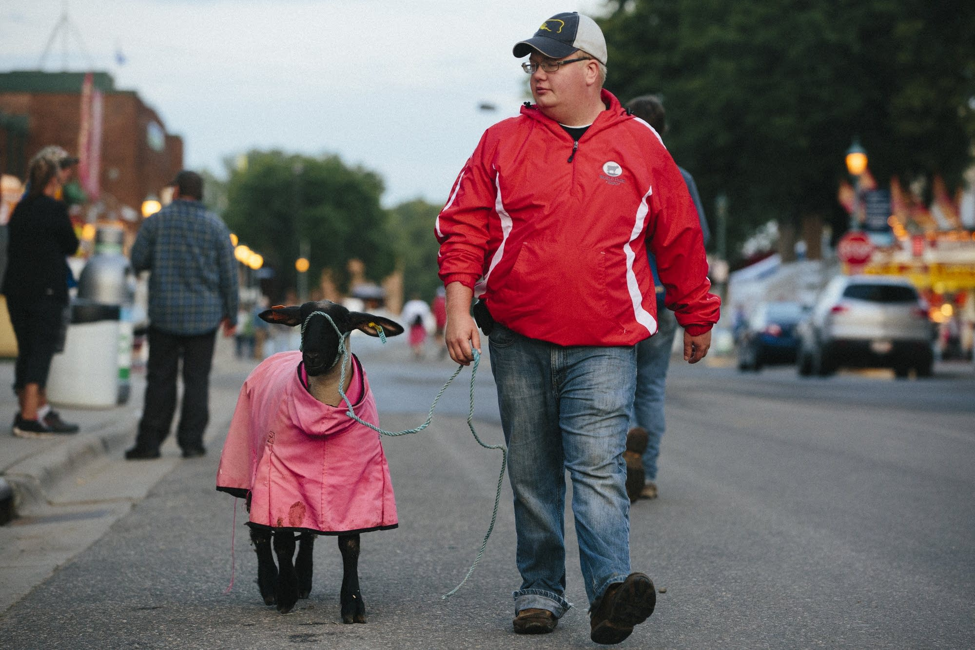 Derek Stehr takes one of his sheep for a walk.