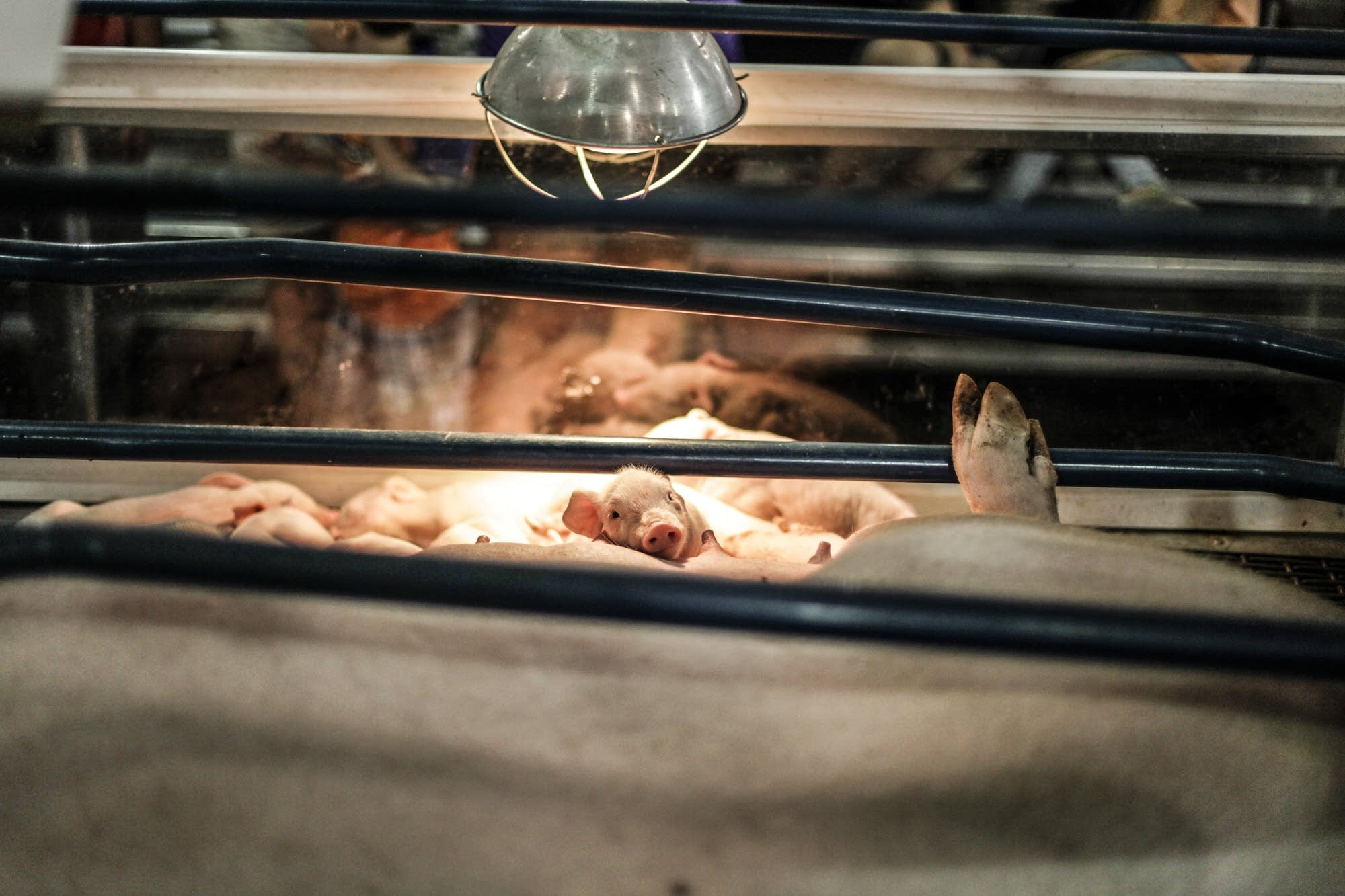 Piglets rest near their mother under a heat lamp.