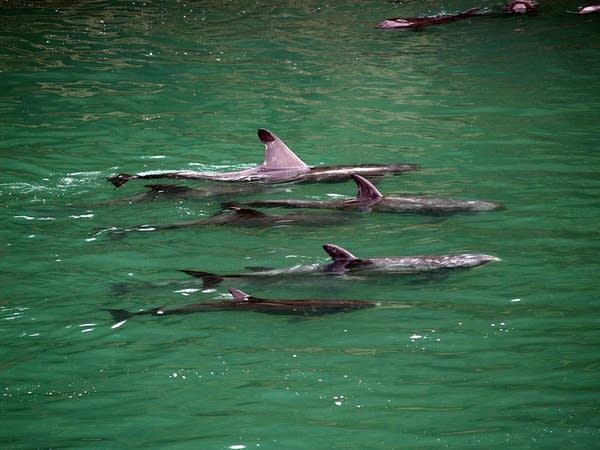 Dolphins in Taiji, Japan
