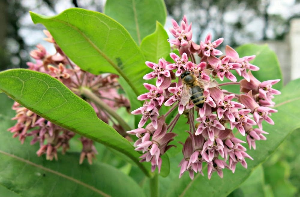 A honeybee sat on a milkweed plant