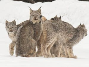 A group of Canada lynx, likely a female lynx with her four kittens