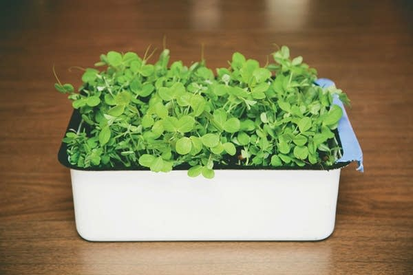 Use a shallow to medium depth container for planting pea shoots.