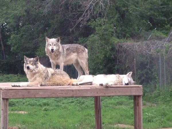 Wolves at the Wildlife Science Center
