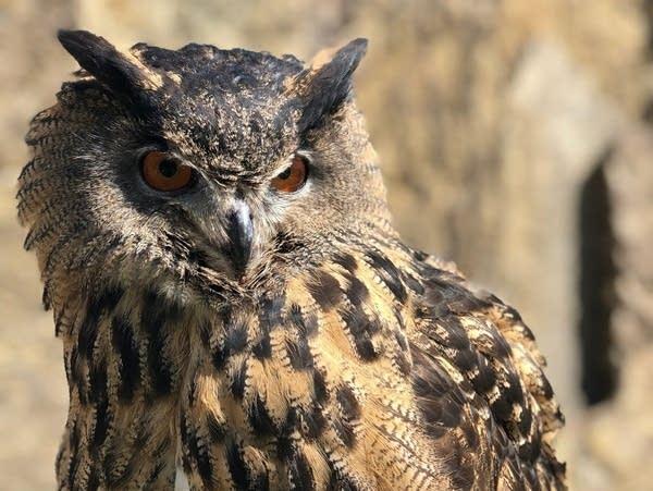 A photo of a Eurasian eagle owl.