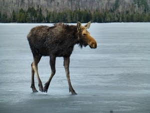 Moose rescue on Hungry Jack Lake