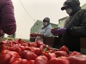 Workers in dust masks wash fresh red bell peppers in smoky conditions.