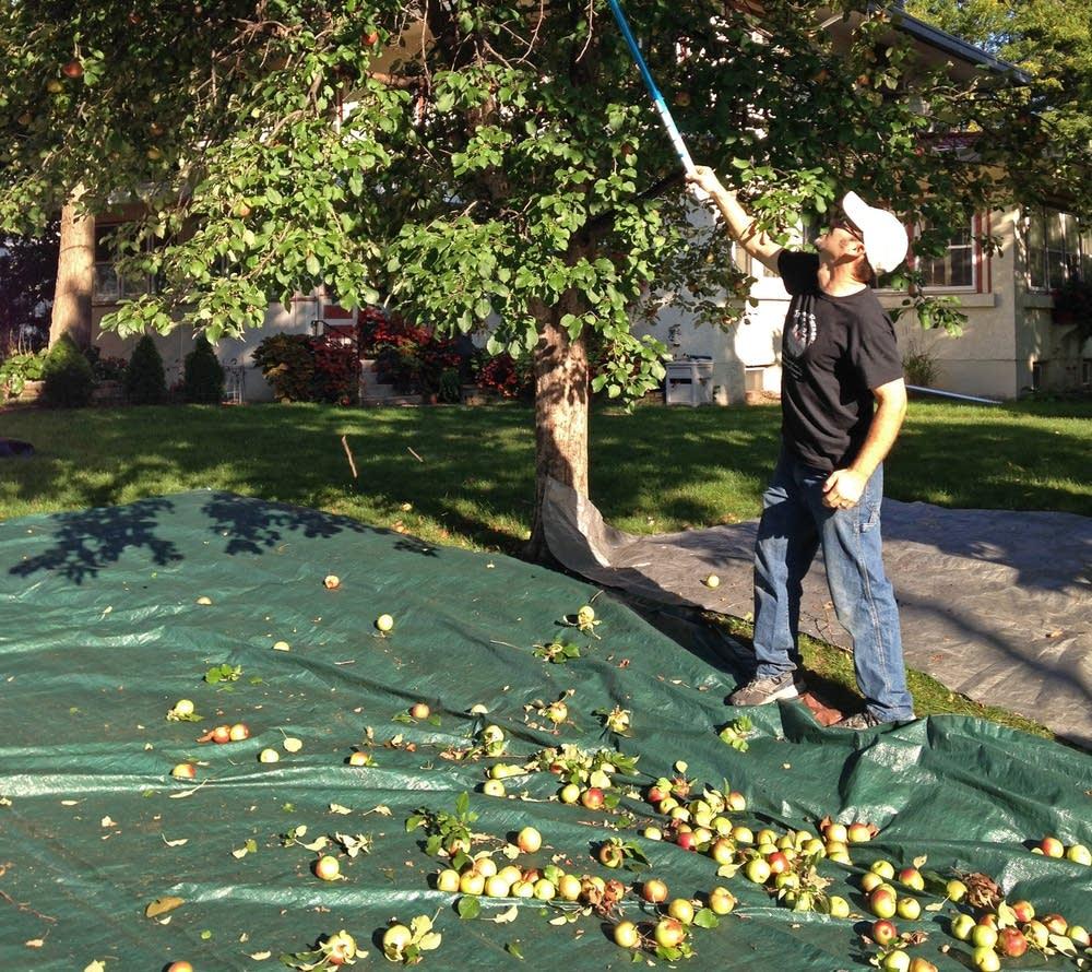 Jeff Zeitler shook apples from a tree in St. Paul.