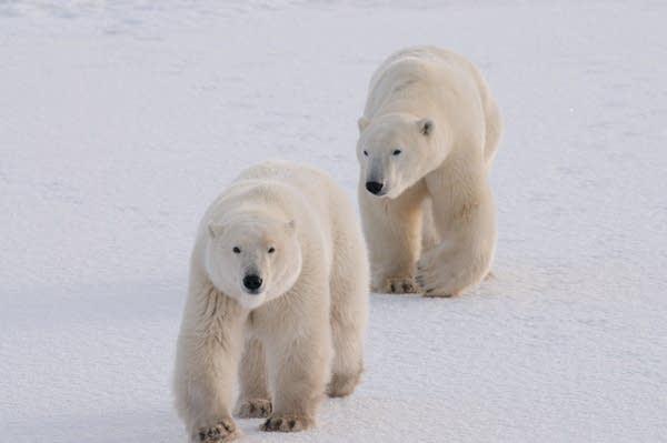 A prototype GPS tracker for polar bears.