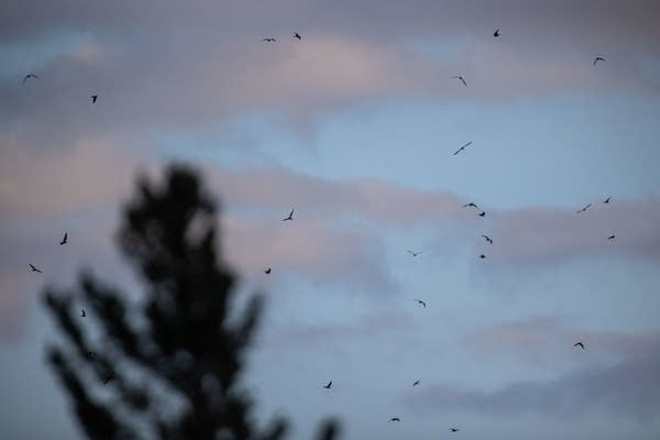 A flock of nighthawks circle an area over Lake Superior.