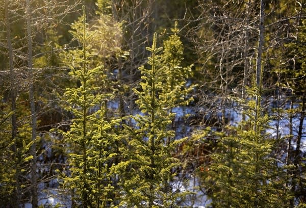 Sunlight shines through a group of spruce trees that grow in a forest