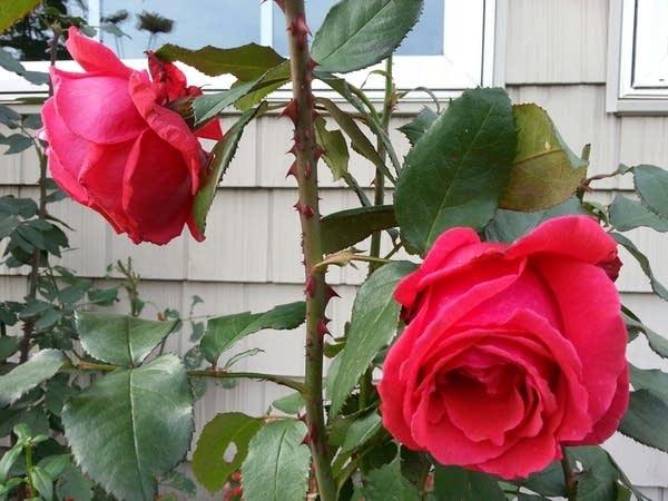 NOV 2015 roses