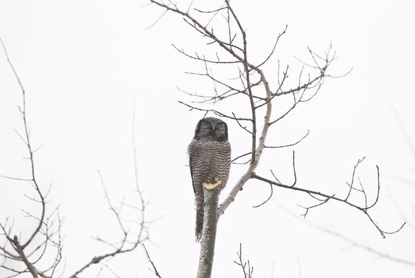 A northern hawk owl rests on a stump.
