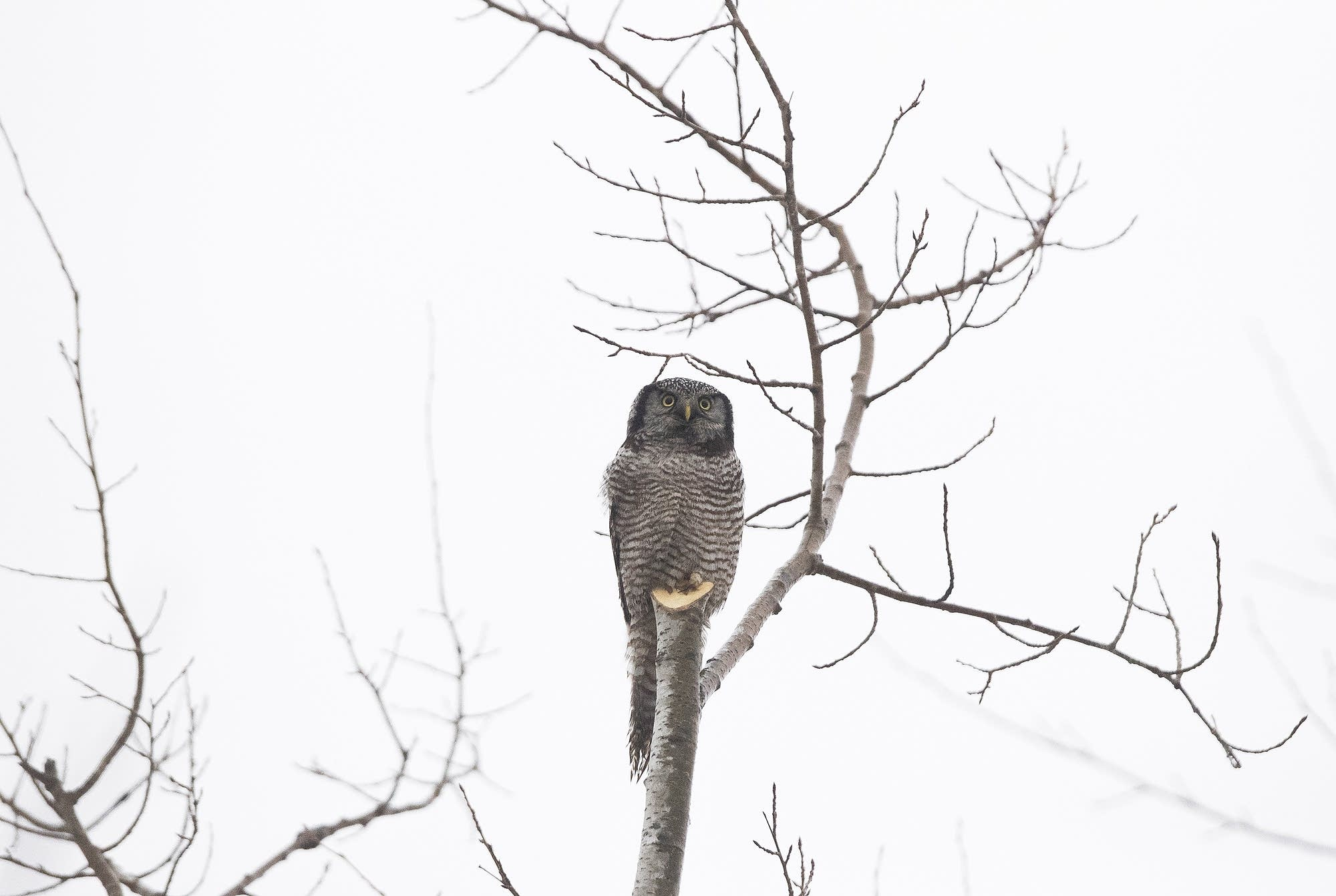 A northern hawk owl rests on a stump.