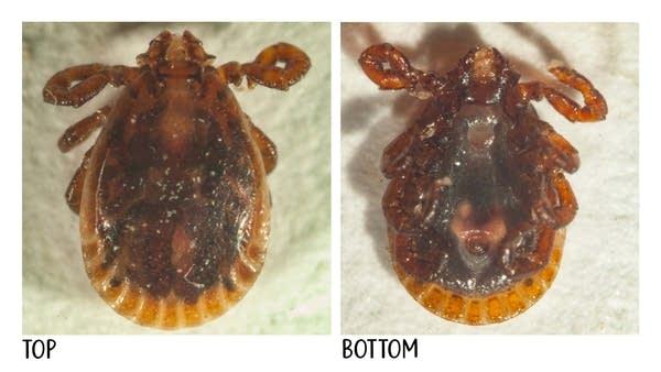 A bush tick, or long-horned tick, lies under a microscope.