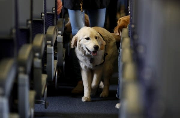 A service dog strolls through the isle inside a United Airlines plane.