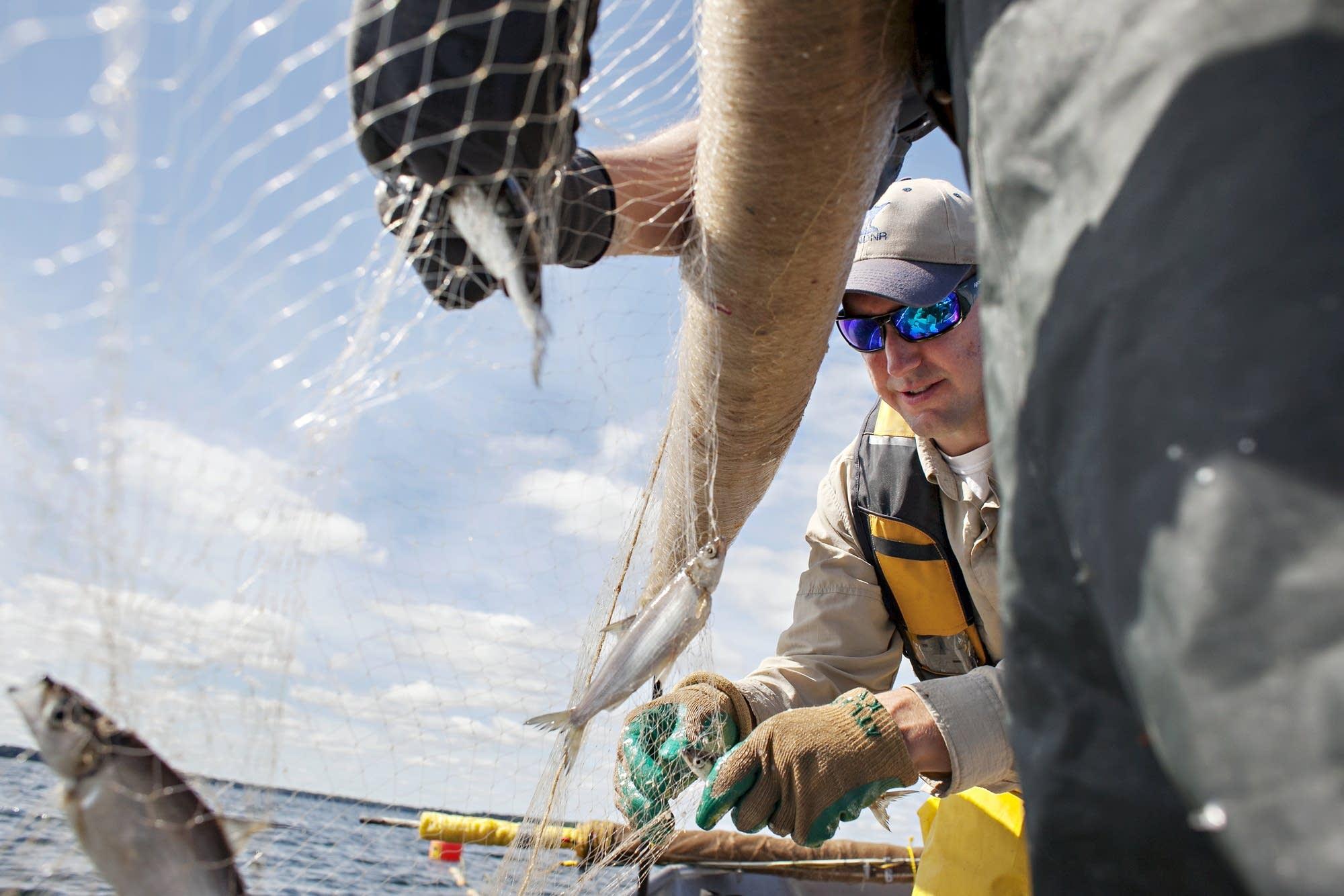 Project coordinator Casey Schoenebeck removes ciscoes