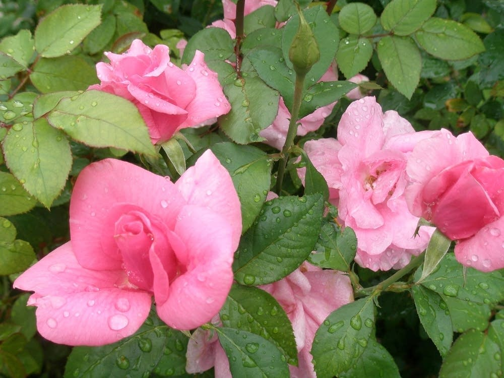 from Jack's rose garden
