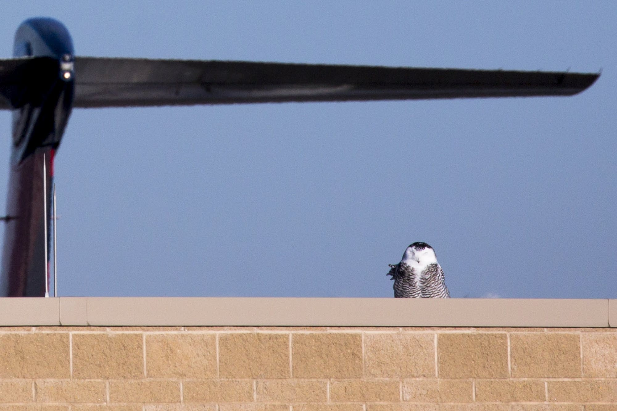 An immature female snowy owl perches on a building