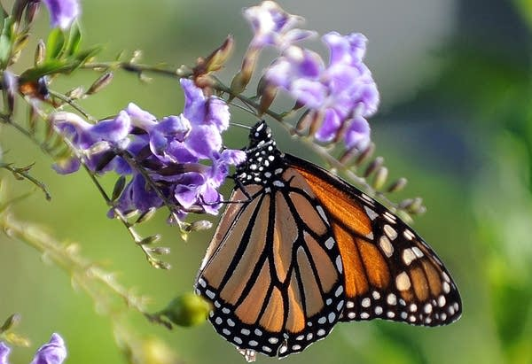 A Monarch butterfly is in a flower