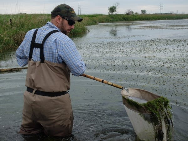 Jake Carleen uses a net to collect samples in a wetland near Fergus Falls.