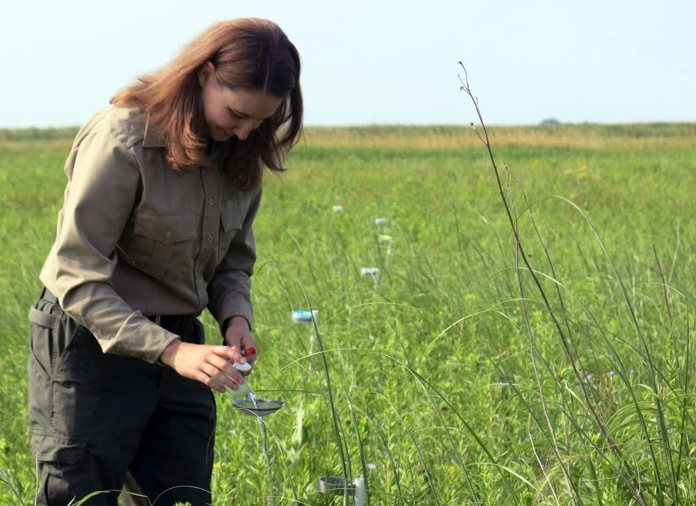 Entomologist Crystal Boyd collects insects.