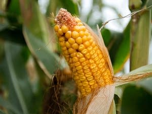 A record amount of corn was harvested in 2015.