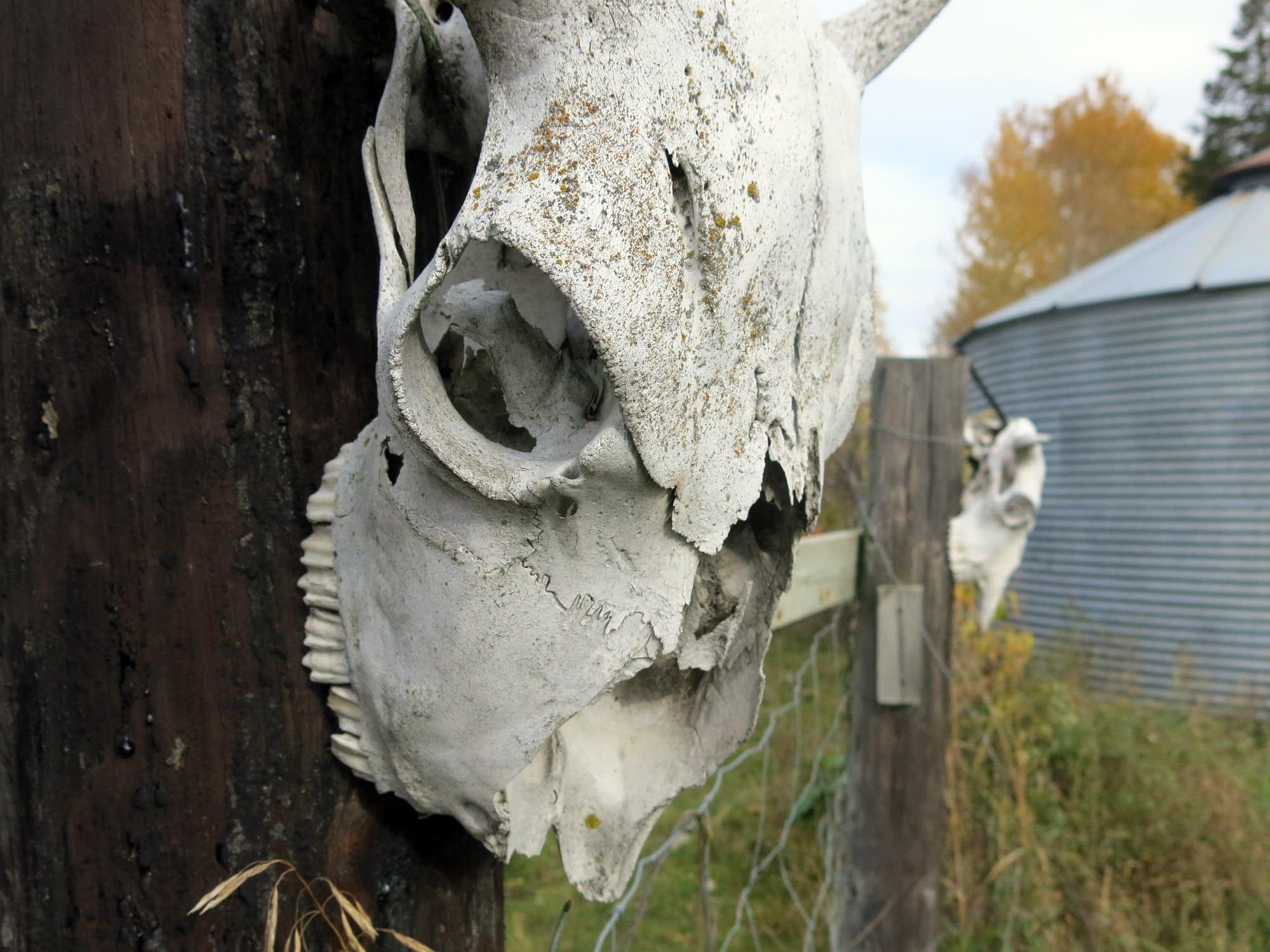 Sun-bleached buffalo skull