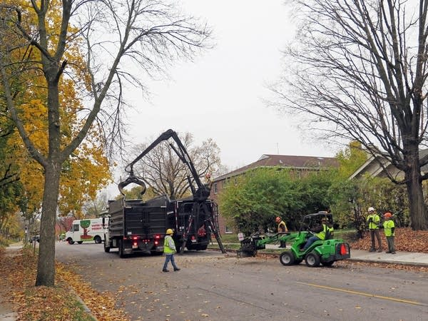 Ash tree branches are removed along Grand Ave.