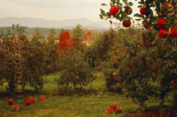 A changing climate is altering the way apples are grown.