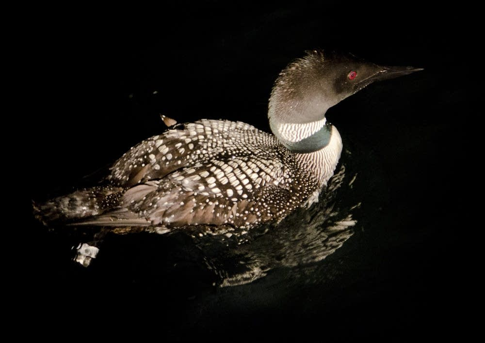 Released loon
