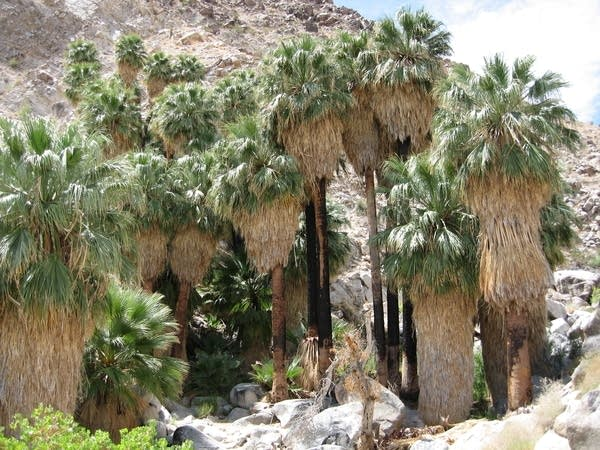 49 Palms Oasis at Joshua Tree National Park.