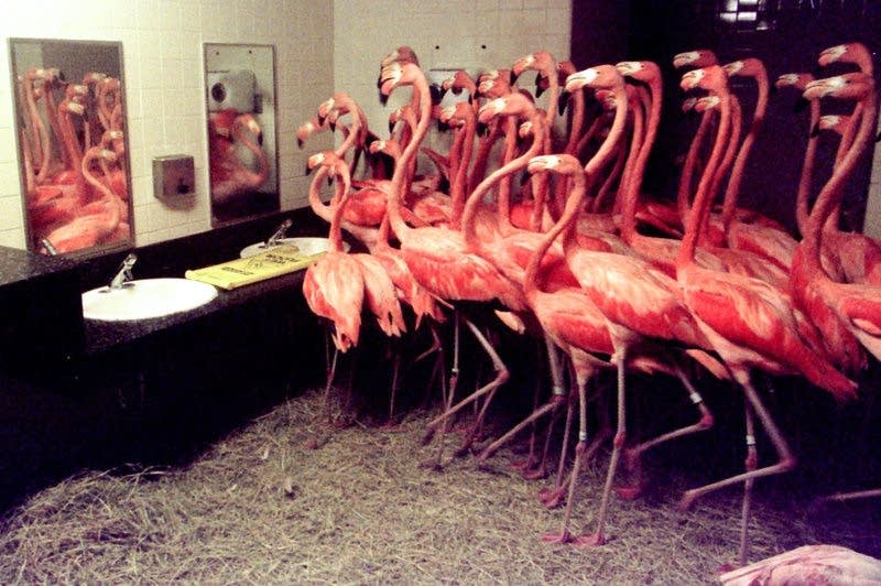 More than 50 Caribbean flamingos take shelter in a men's restroom
