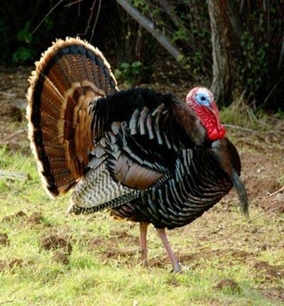 762294 20121119 turkey strutting