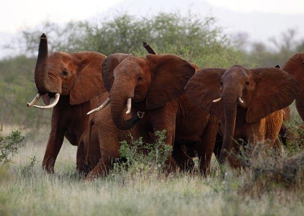 Elephants in Tsavo East national park, Kenya