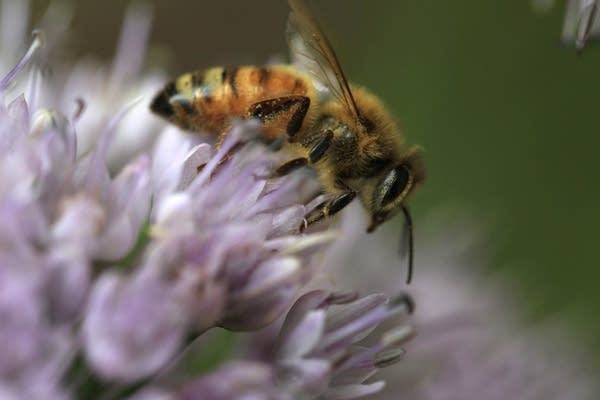 Honeybee collecting pollen