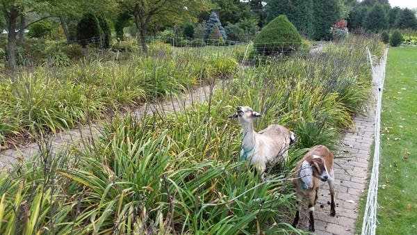 St. Paul will use goats to combat invasive plants
